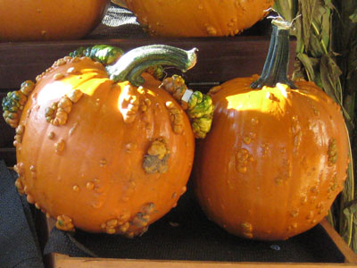 Knucklehead pumpkins