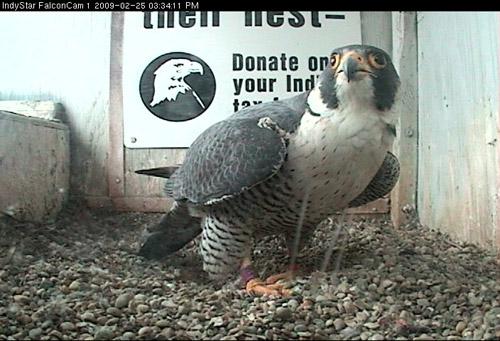 I am falcon!